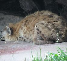 Spotted Hyena In Captivity ... Toronto Zoo by gypsykatz
