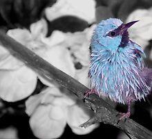 Blue Dacnis by Lisa G. Putman