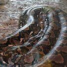 Python reticulatus by Maximus