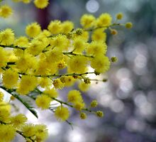 Cootamundra Wattle by Penelope Thomas