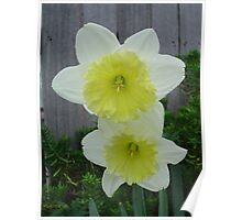 Double Daff Poster