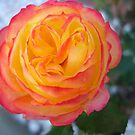 Rose.. by MaddyPaddy