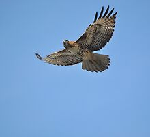 Hawk on the Hunt by Lawrence Henderson