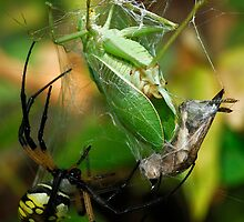 Well Fed - Argiope aurantia  by Dennis Jones - CameraView