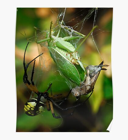 Well Fed - Argiope aurantia  Poster