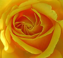 Australia's Olympic Gold Rose by Marilyn Harris