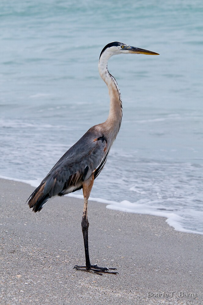 Great Blue Heron at the Shore by Bonnie T.  Barry