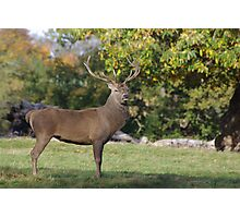 His Majesty -A Proud Red Stag Photographic Print