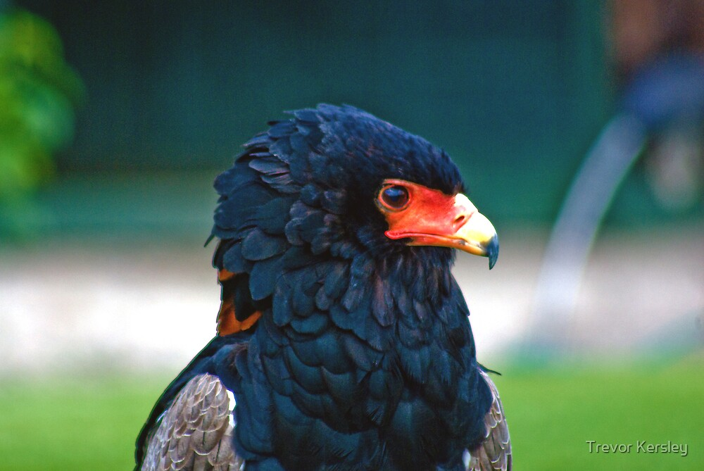 Bateleur-Eagle by Trevor Kersley