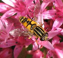 Hoverfly on Sedum by jacqi