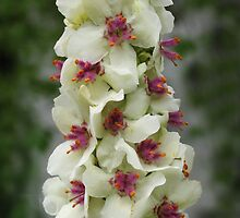 White Verbascum by jacqi