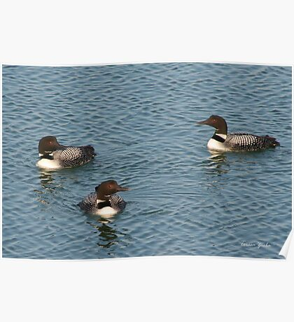Common Loons Poster