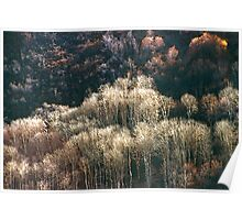 Sunlit Bare Autumn Trees (1) Poster