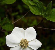 Pacific Dogwood Blossum by OrPhotoJohn