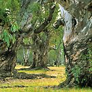 River Red Gums by Ern Mainka