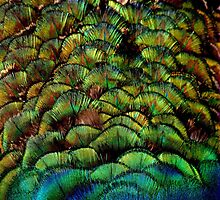 Colours of a Peacock by Tamara  Kenneally