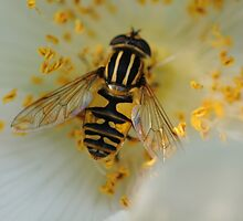 Bee at work #2 by Charles Howarth