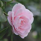 Camellia by Jacqueline  Murphy