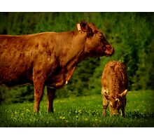 Cow and Veal Photographic Print