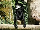 Colobus by Laura Kelk