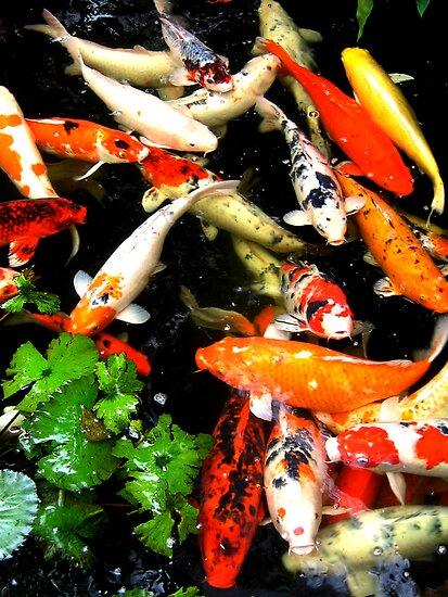 Koi Fish by amamoto