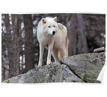 Arctic wolf on hunt  Poster