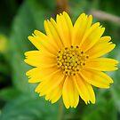 Sunny Daisy by Chazagirl