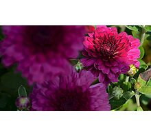 purple flower low key  Photographic Print