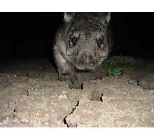 Wombat in the Murray River mudflats Photographic Print