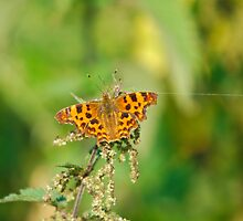 Comma butterfly by John Newson