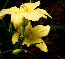 lillies in bloom by marshaann