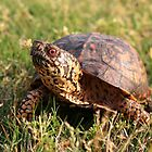 Eastern Box Turtle (Terrapene carolina carolina) XT0003823 by Cristian