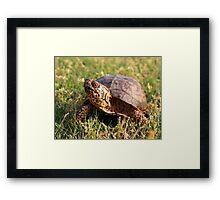 Eastern Box Turtle (Terrapene carolina carolina) XT0003823 Framed Print