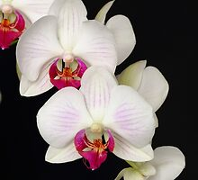 Orchid by Andrew Jeffries