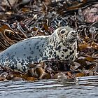 Seal by Alan Forder