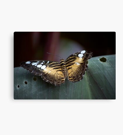 Why! I am a beautiful butterfly... Canvas Print