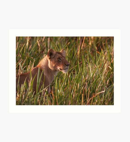 Lioness In The Marsh  Art Print