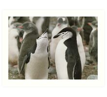 Chinstrap Penguin Courtship Art Print