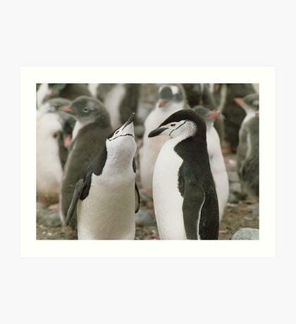 Chinstrap Penguin Courtship Art Print
