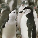 Chinstrap Penguin Courtship by Steve Bulford