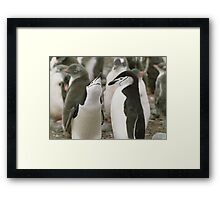 Chinstrap Penguin Courtship Framed Print