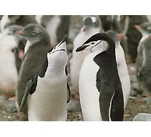 Chinstrap Penguin Courtship Photographic Print
