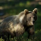 European Brown Bear Cub by Nic Relton