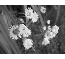 weed Photographic Print