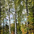 A Birch beside the Radisson  by Larry Lingard-Davis