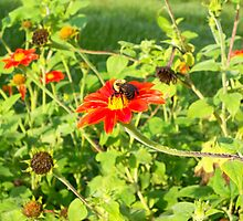 Mexican Sunflower and bees by Rachel Lewter