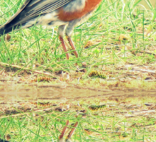 American Robin At Water's Edge Sticker