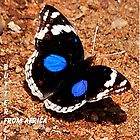 BLUE PANSY  Junonia oenone oenone ( African Butterfly series) by Magaret Meintjes