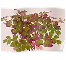 Colorful Wild Columbine Leaves Poster