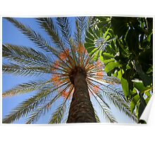 Date Palm Tree.  LOS CRISTIANOS, TENERIFE, CANARY ISLAND Poster